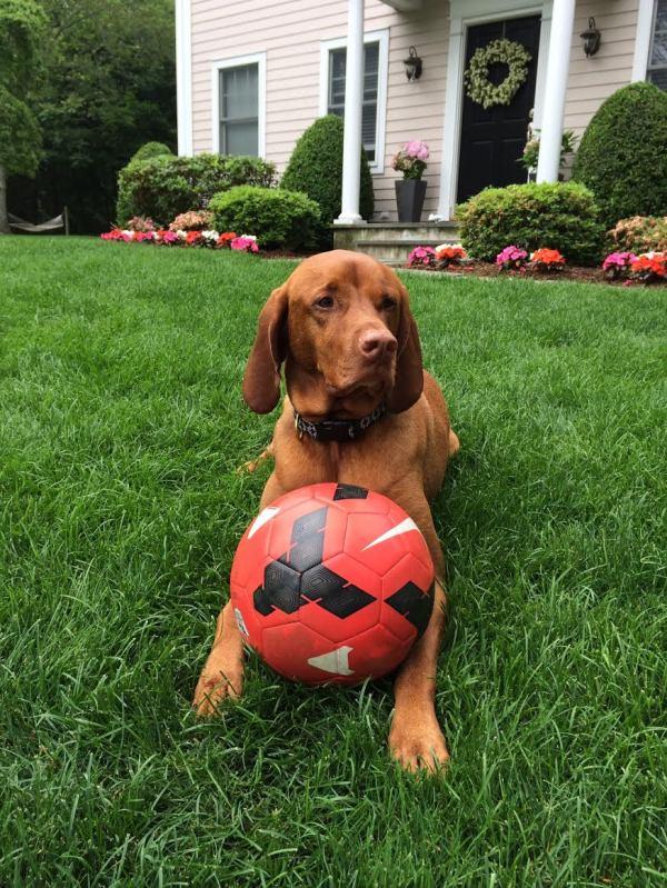 world cup,dog,cute,vizsla