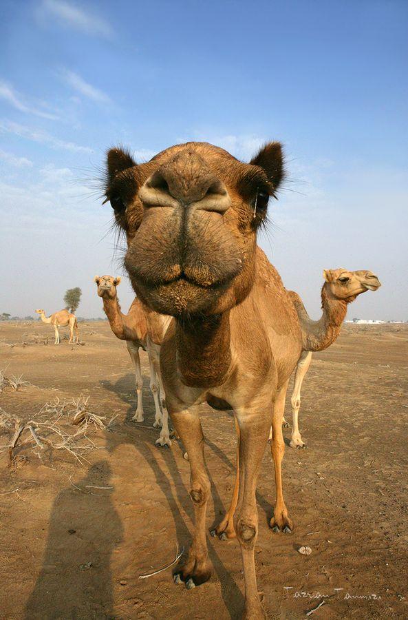 camel-hump-day-caleb-funny
