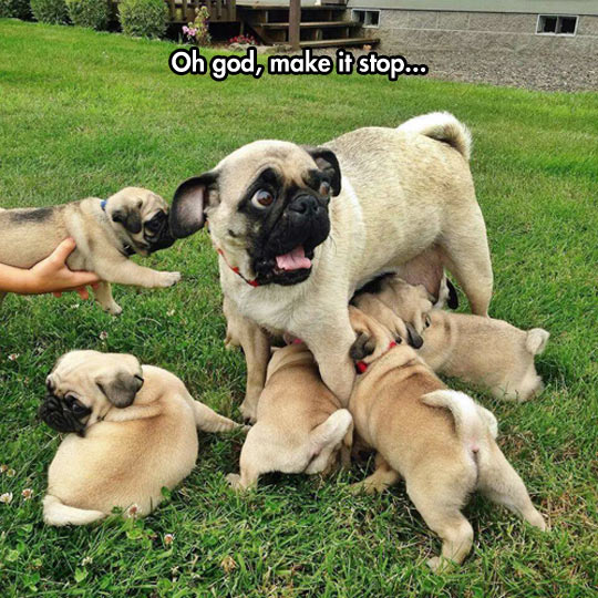 funny-pug-mother-puppies-feeding