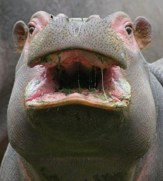 hippo-close-up-funny