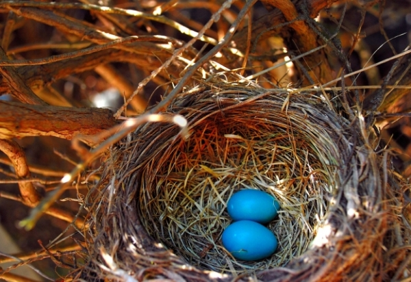 Nest-Robin-eggs-blue