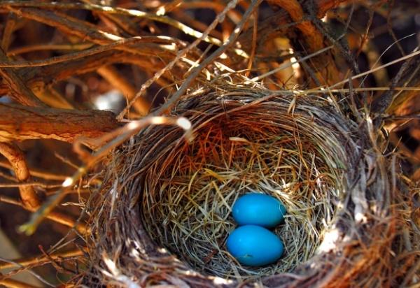 Nest-Robin-eggs-blue