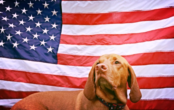 zeke-american-flag-vizsla-dog-july-fourth