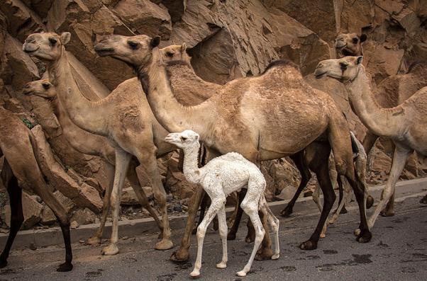 camel-baby-albino