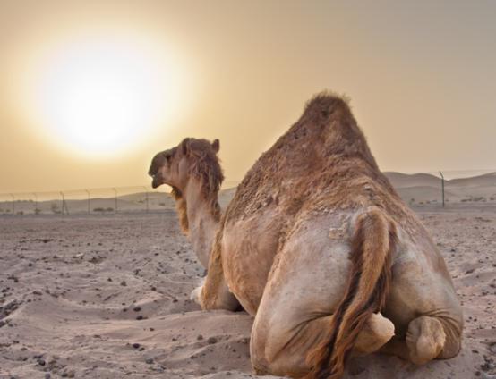 camel-geico-caleb-hump-day