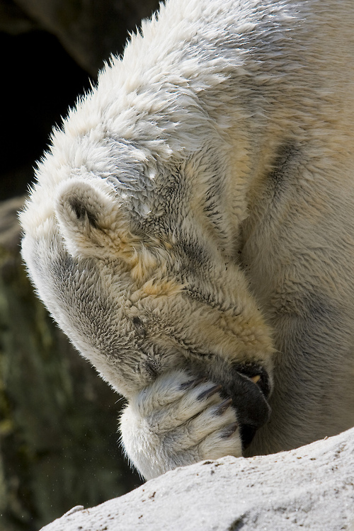 polar-bear-funny