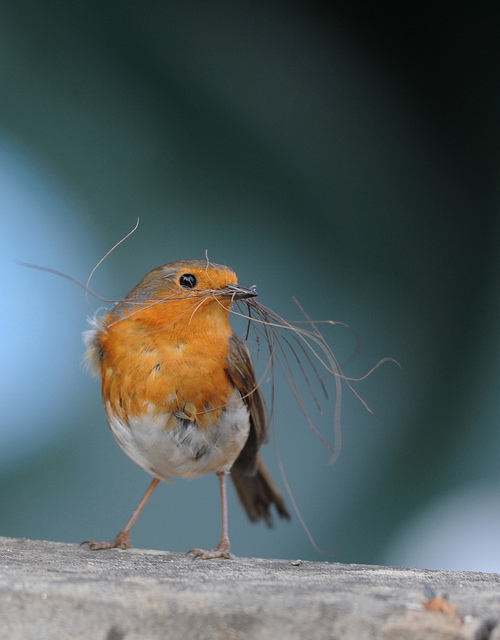 robin-nest