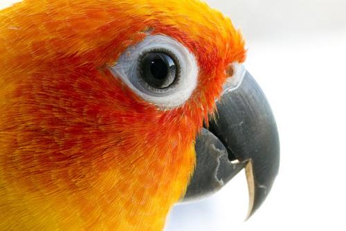 bird-sun-conure