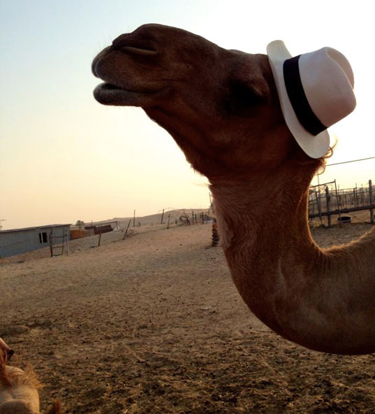 camel-hump-day-funny-hat