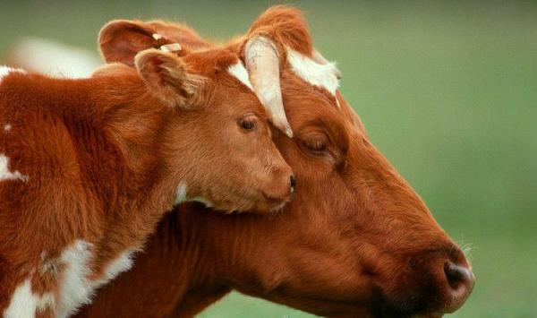 cow-calf-mother