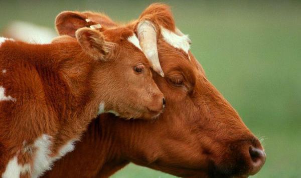 cow-calf-mother
