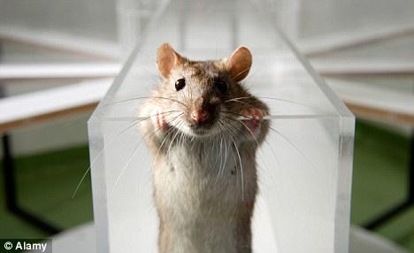 lab-rat