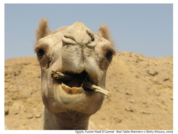 hump day, wednesday,caleb,geico,camel