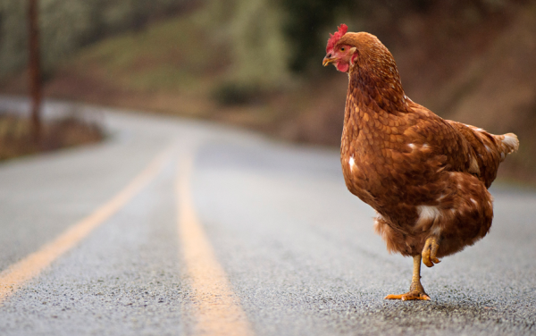 Funny Chicken: T.G.I.F.: Why Did The Chicken Cross The Road?