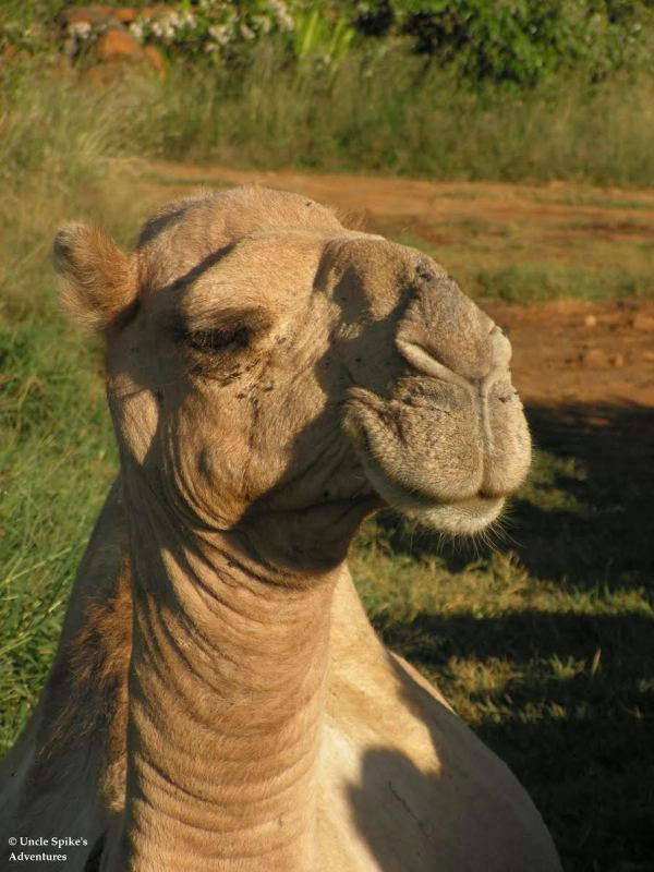 camel-hump-day-wednesday