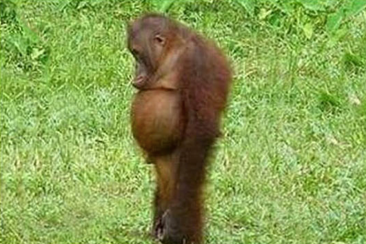 funny-monkey-belly-diet