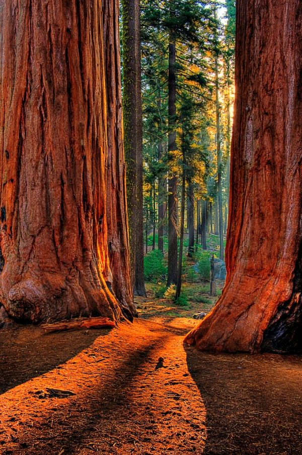 sequoia-tree-light-sunrise
