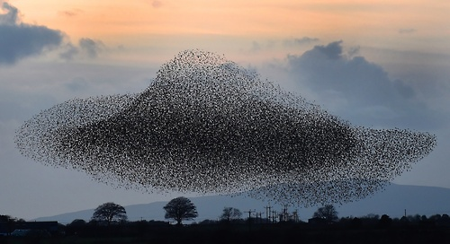 starlings-murmuration