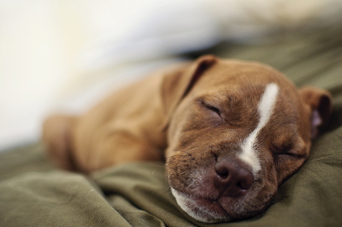 puppy-cute-sleep-adorable