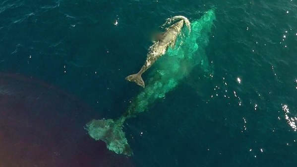 Newborn-Gray-Whale-From-Drone-2_Copyright-Dolphin-Safari
