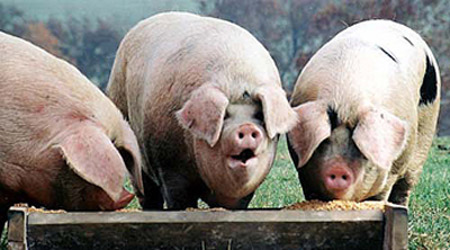 pigs-trough