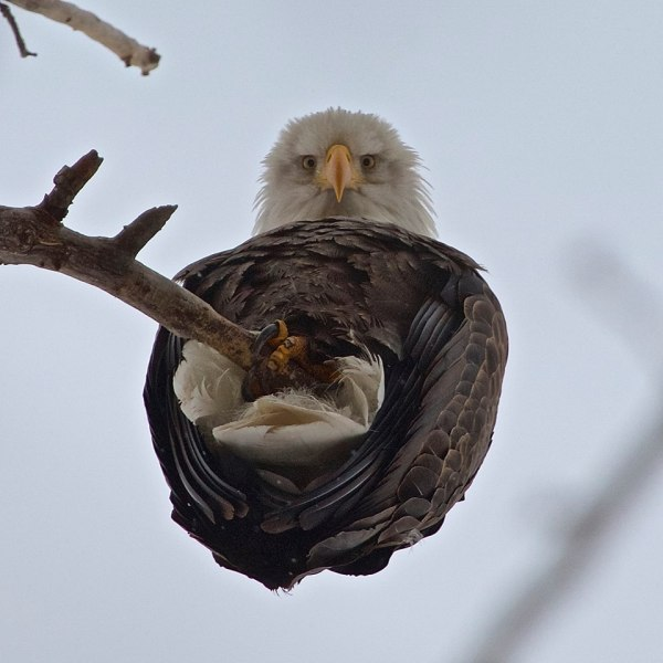eagle-cute-adorable-nest