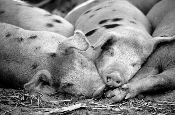 pigs-sleepy-morning