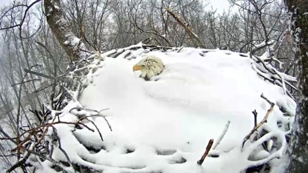 bald-eagle-nest