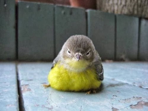 bird-cute-adorable-chubby