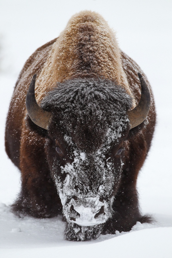 buffalo-winter-fierce