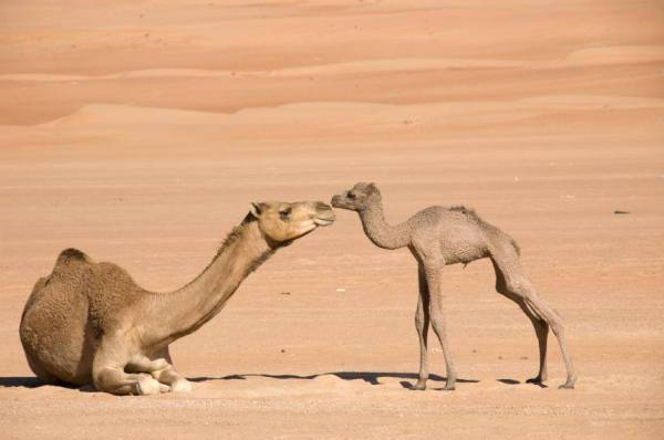 camel-calf-hump-day-adorable