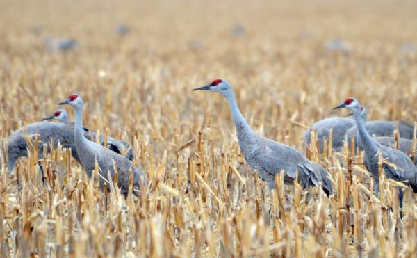 sandhill-cranes-corn-field