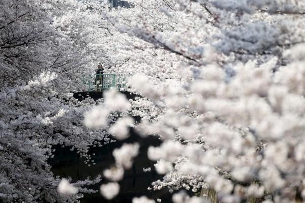 Cherry-Blossoms-Tokyo