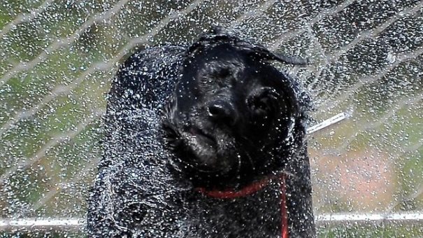 dog-shaking-water-dry