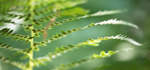 fern-close-up