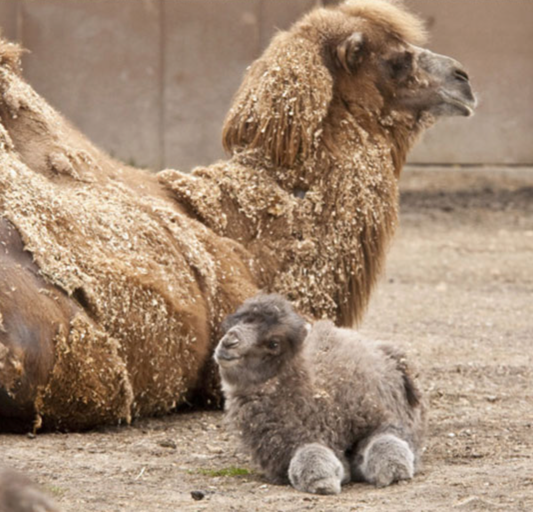 caleb-camel-baby-hump-day
