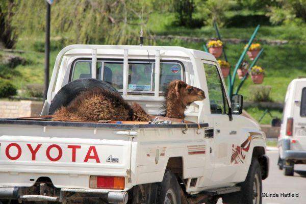 camel-truck-caleb-hump-day