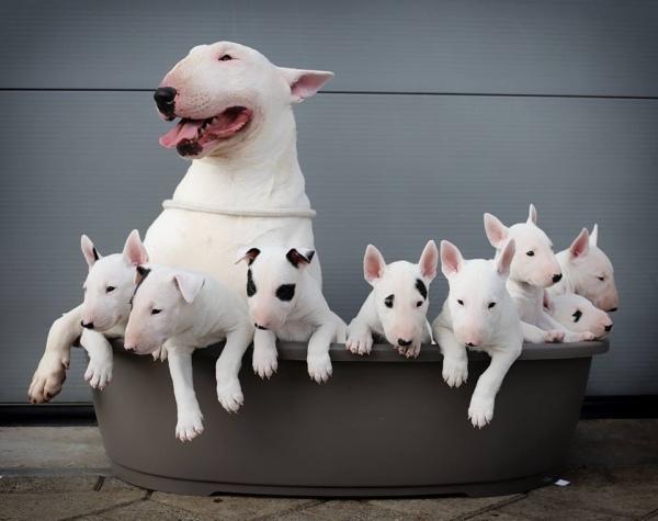 english bull terrier,bull terrier,terrier,