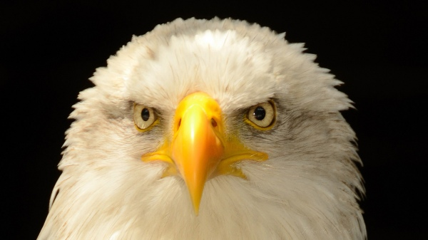 eagle-close-up-eyes-beak