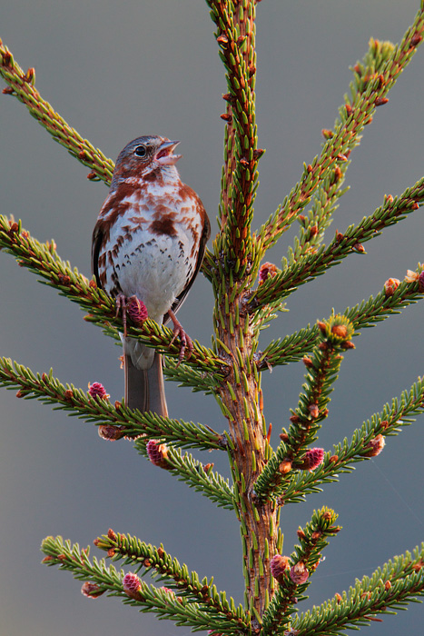 fox-sparrow-bird