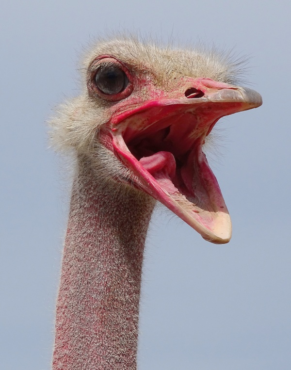 ostrich-cute-morning-wake-up-call-funny