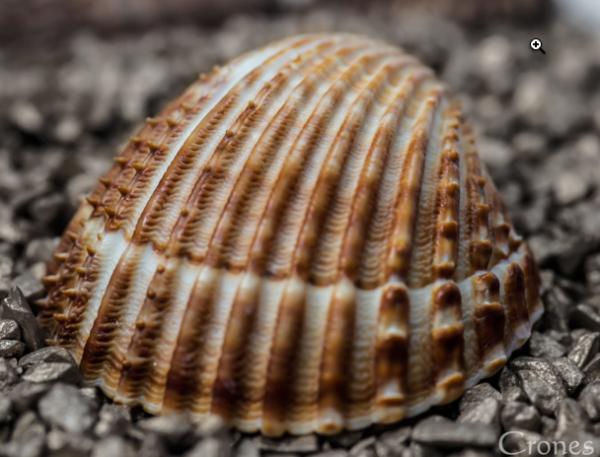 seashell-close-up