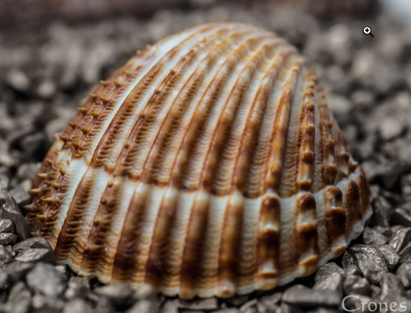 seashell-close-up
