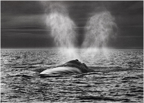 adelita_right_whale-sebastiao-salgado