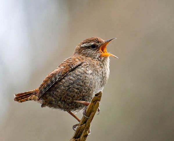 Do birds sing? - answers.com