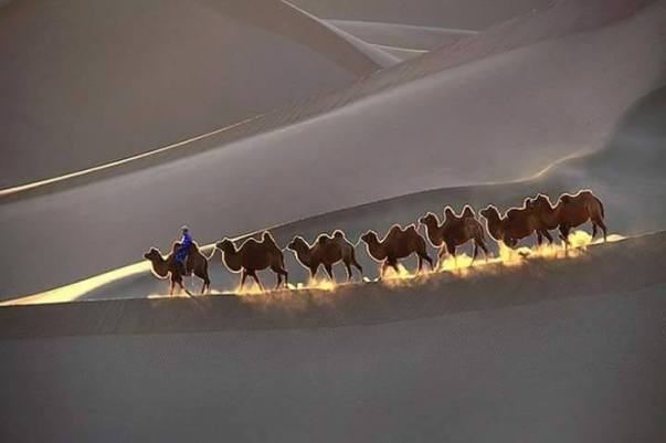 camels-desert-wednesday-hump-day