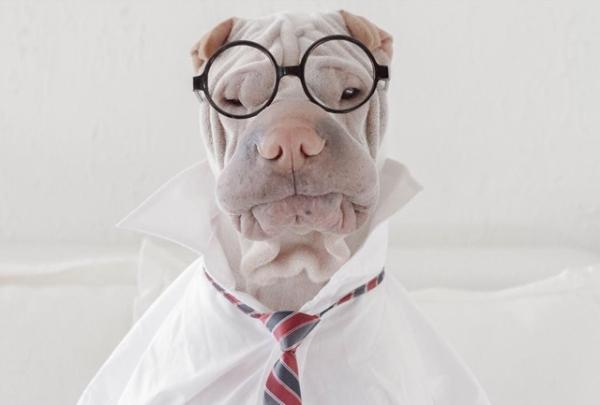 dog-pet-cute-funny-adorable-shar-pei