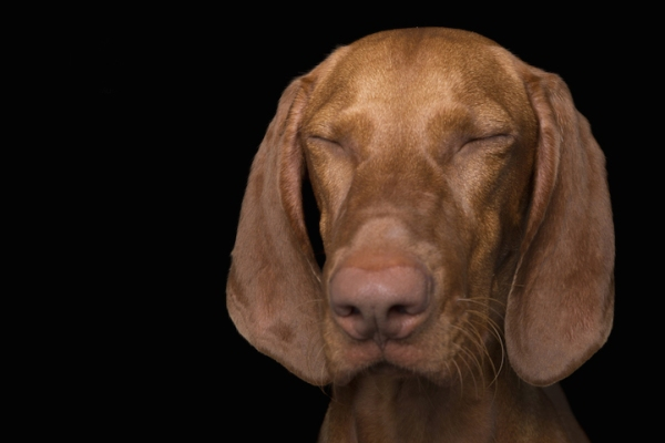 dog-zen-vizsla-pet-adorable