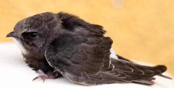 little-swift-bird