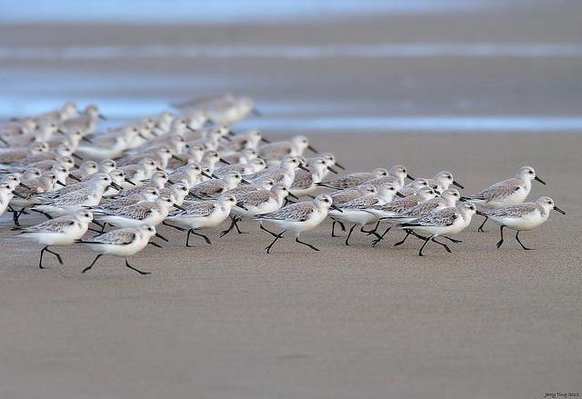 sanderlings-birds-beach